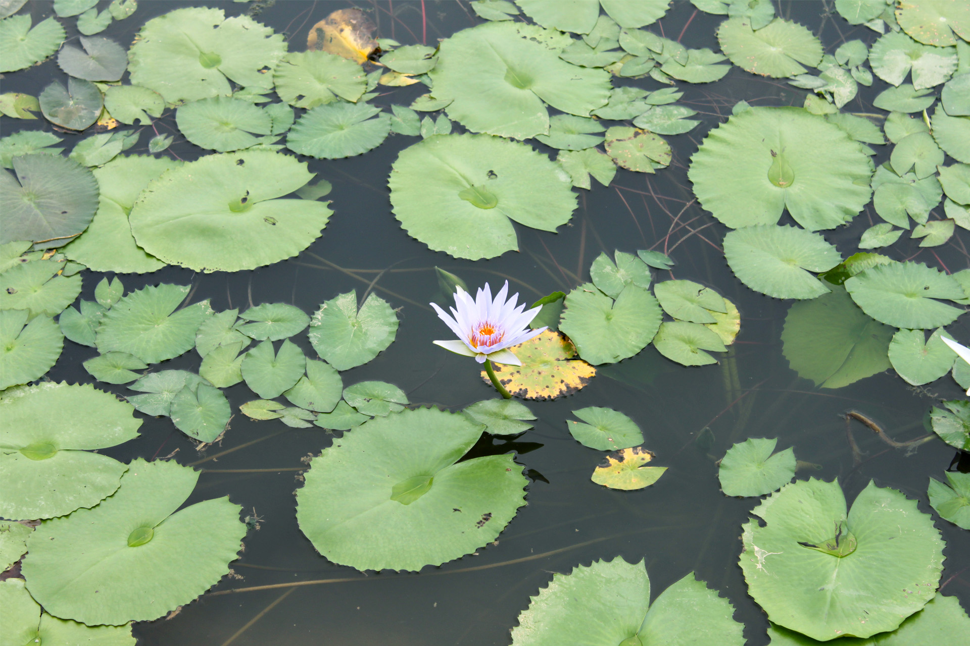 634 - Waterlily